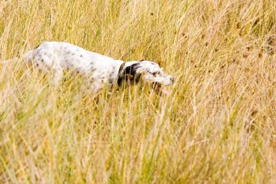 caccia-cane-setter-2012024-o