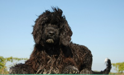 breeds portuguese water dog