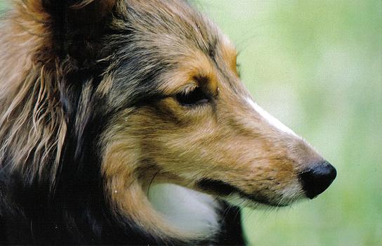 cão com pelo largo
