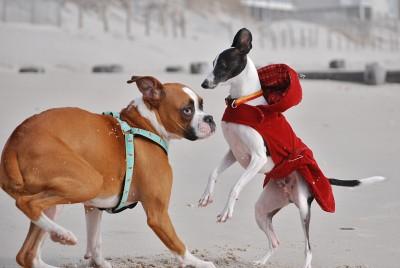 cão dominante