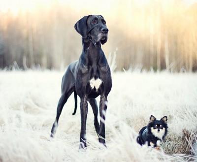 cães grande porte