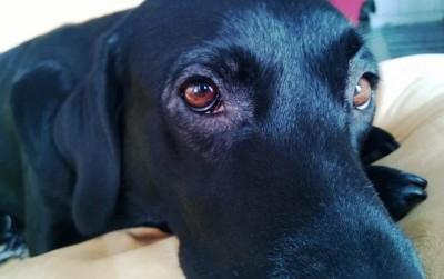 conjuntivite canina