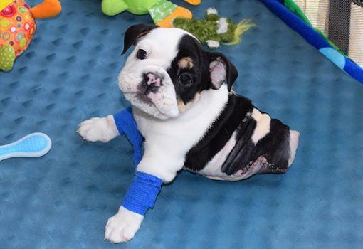 Fonte: Bonsai - Half A Bulldog, Twice The Love