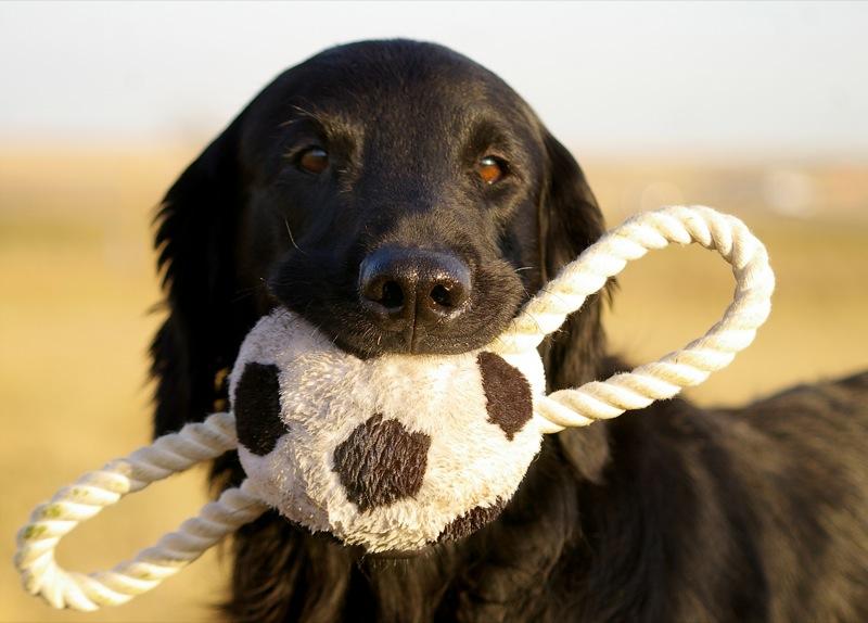 cães brinquedos