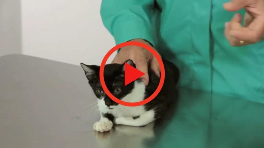 gatos sida