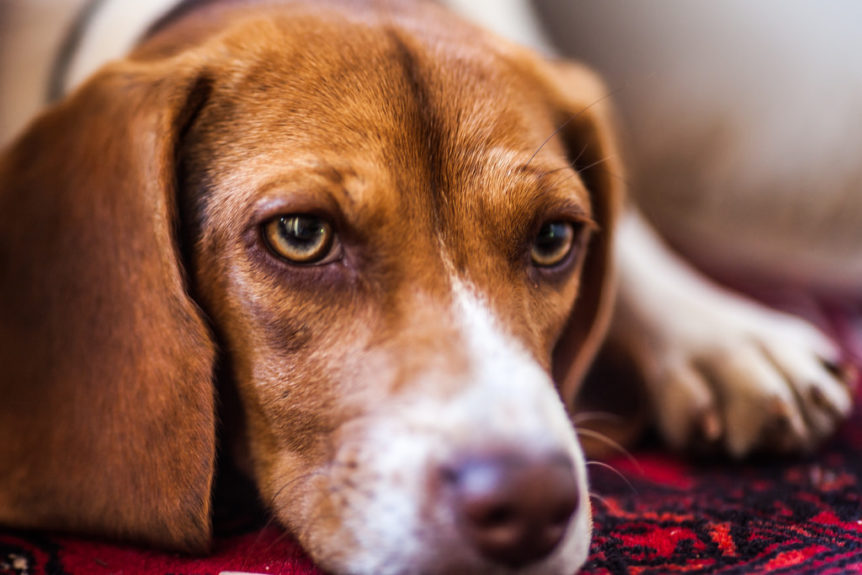 vacinas cães