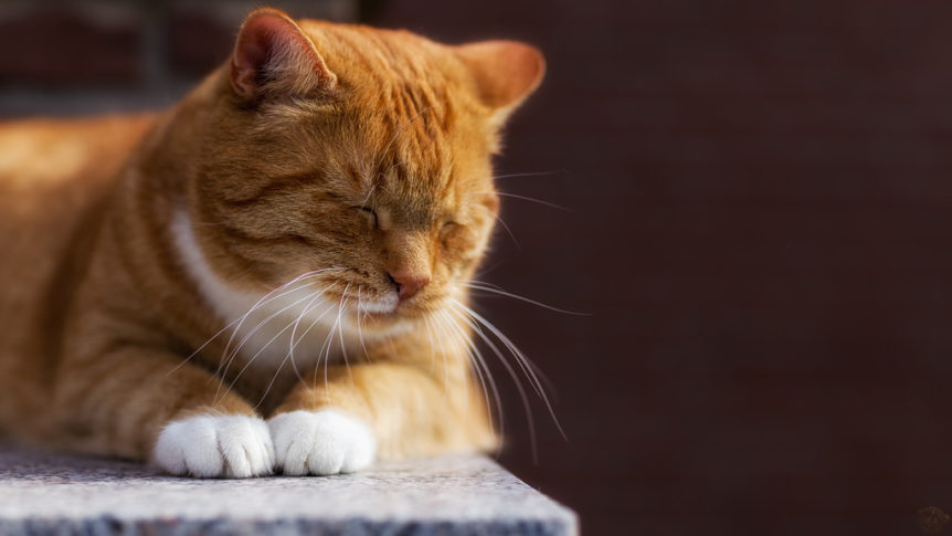 Na perna de gato dor